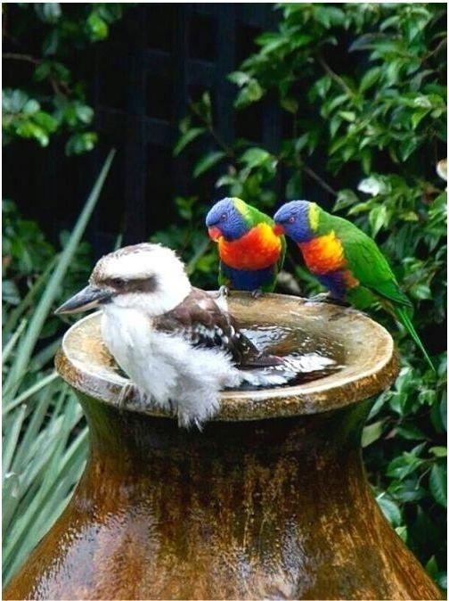 Bird Bath Rainbow Lorikeet and Kookaburra