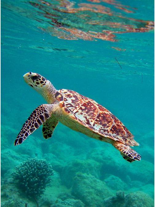 Endangered Hawksbill Turtle Returns to Australia