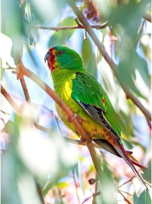 Swift Parrot Critically Endangered Australia