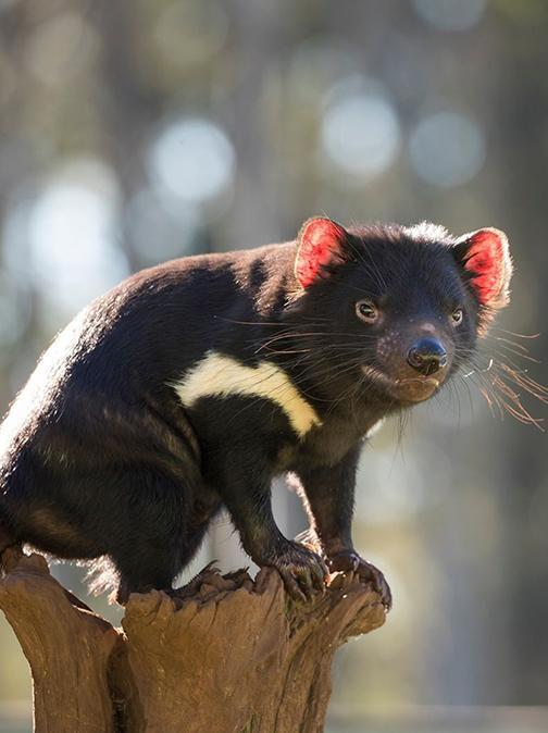 Tasmanian Devils Return to Mainland Australia