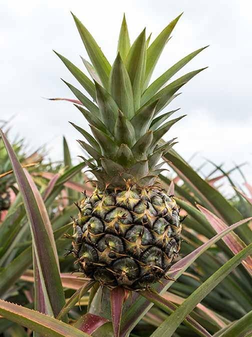 Learn more about Pinatex, Made from Pineapple
