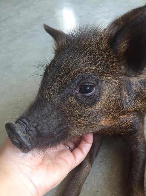 Who Is Rosie The Pig?