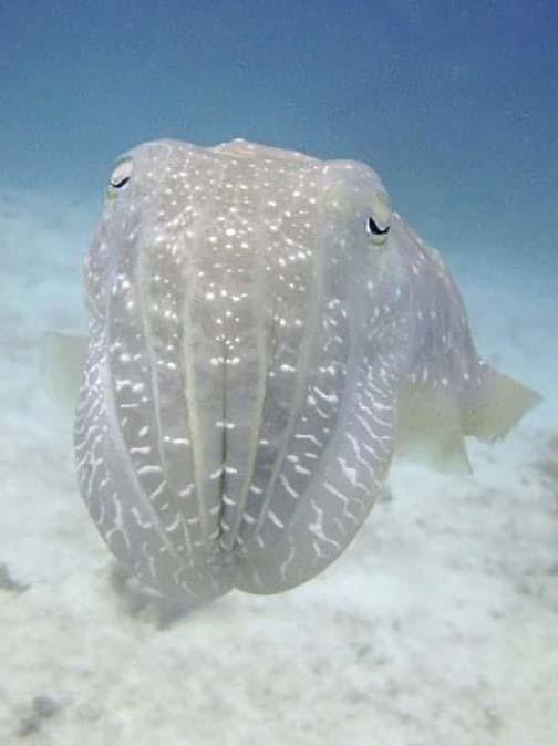 The Superpowers of Cuttlefish
