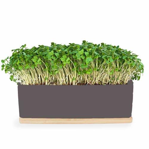 Urban Greens Mini Garden Mustard Sprouts - Grey Box