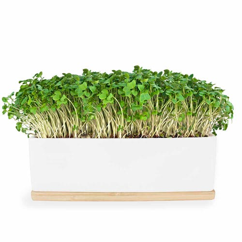Urban Greens Mini Garden Mustard Sprouts - White Box