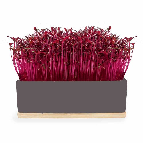 Urban Greens Mini Garden Ruby Sprouts - Grey Box