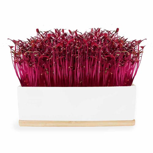 Urban Greens Mini Garden Ruby Sprouts - White Box