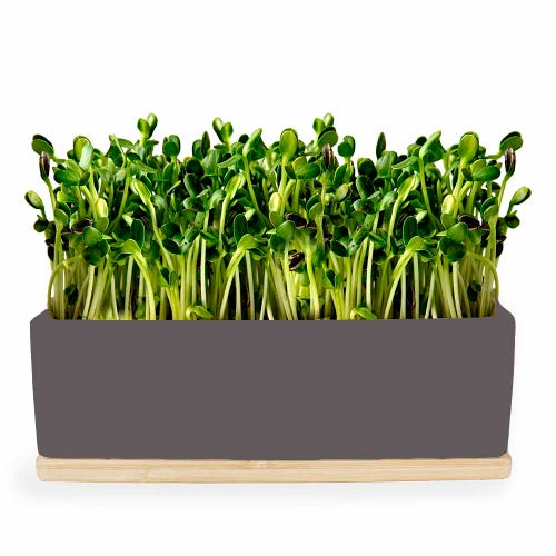 Urban Greens Mini Garden Sunflower Sprouts - Grey Box