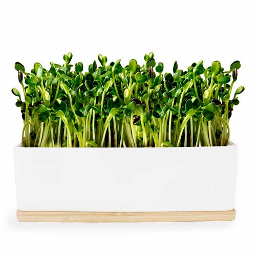 Urban Greens Mini Garden Sunflower Sprouts - White Box