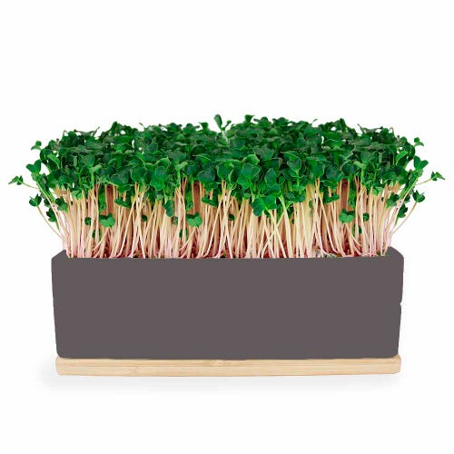 Urban Greens Mini Garden Kale - Grey Box