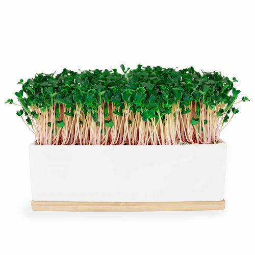 Urban Greens Mini Garden Kale - White Box