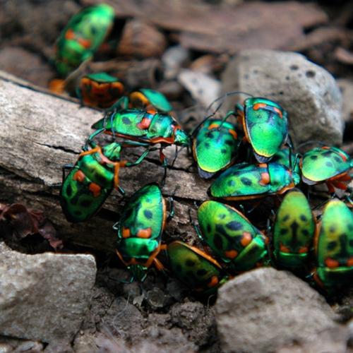 Climate Change and Christmas Beetles