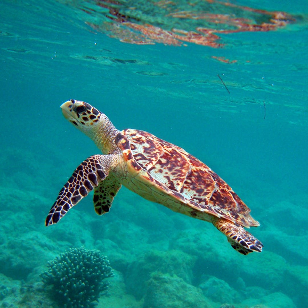 History of the Hawksbill Turtle