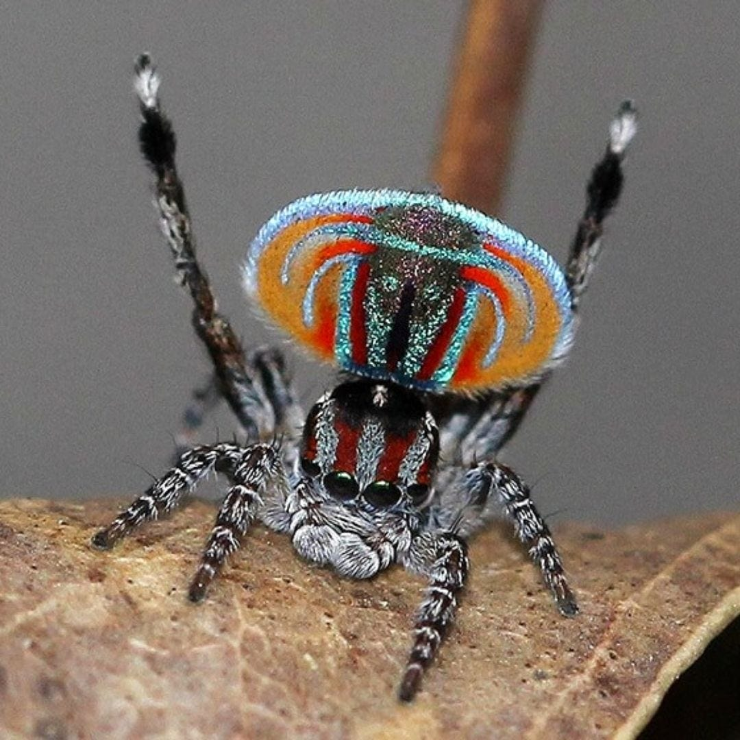 Flying Peacock Spider