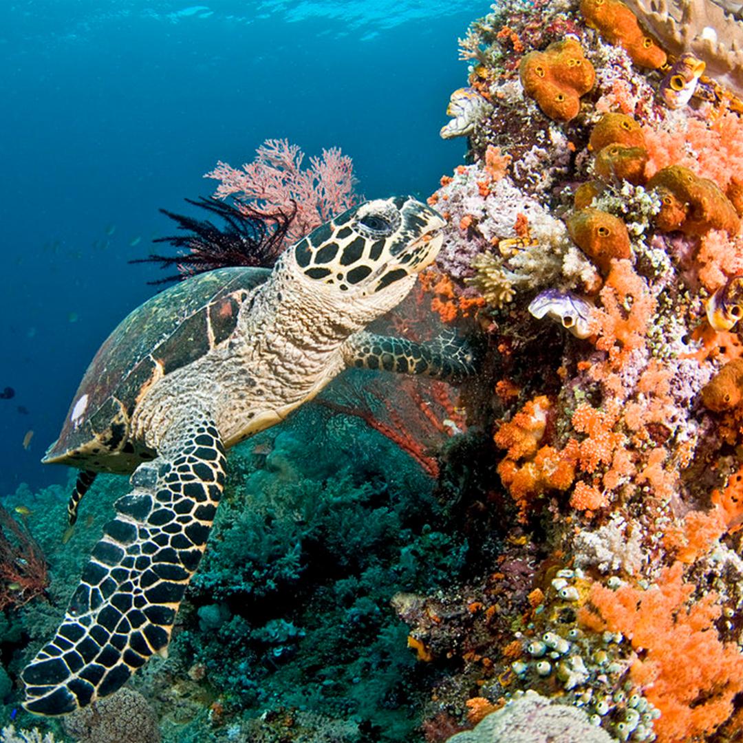 Hawksbill Turtle Coral Reef