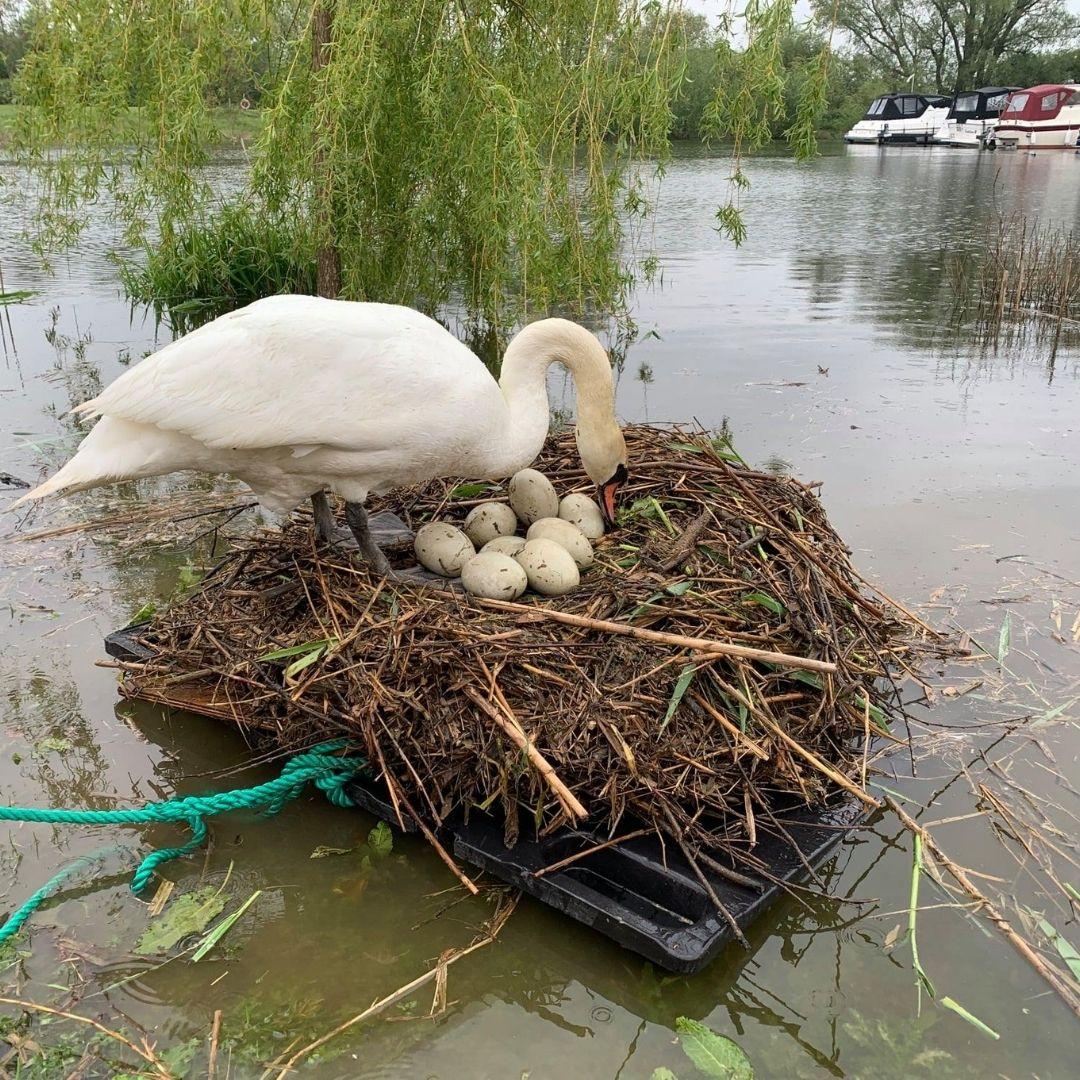 Saved Swan Eggs