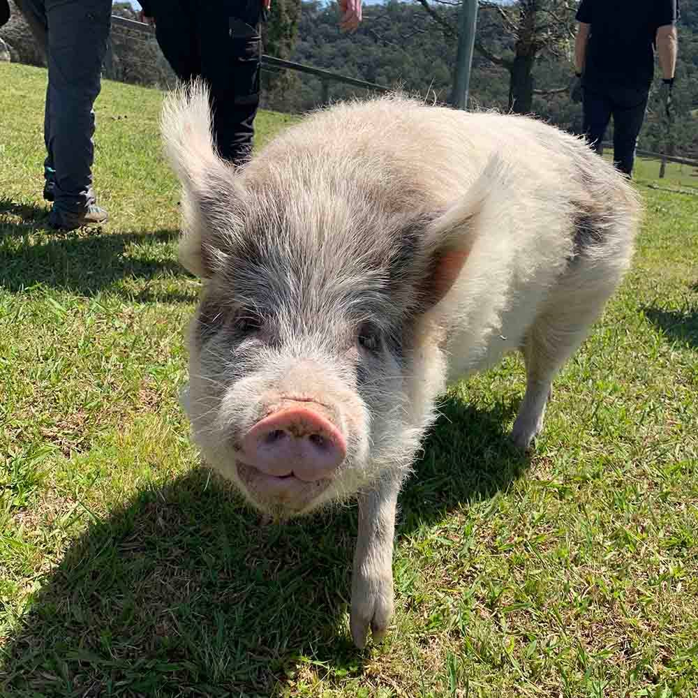 We work with Where Pigs Fly animal sanctuary
