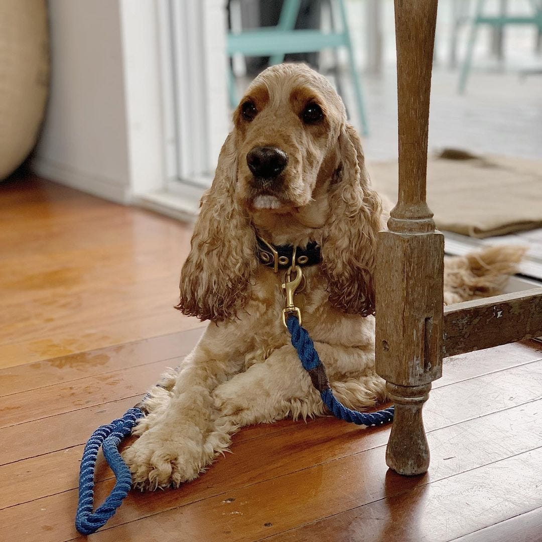 Animals in Charge - Owner's cocker spaniel, Pixel
