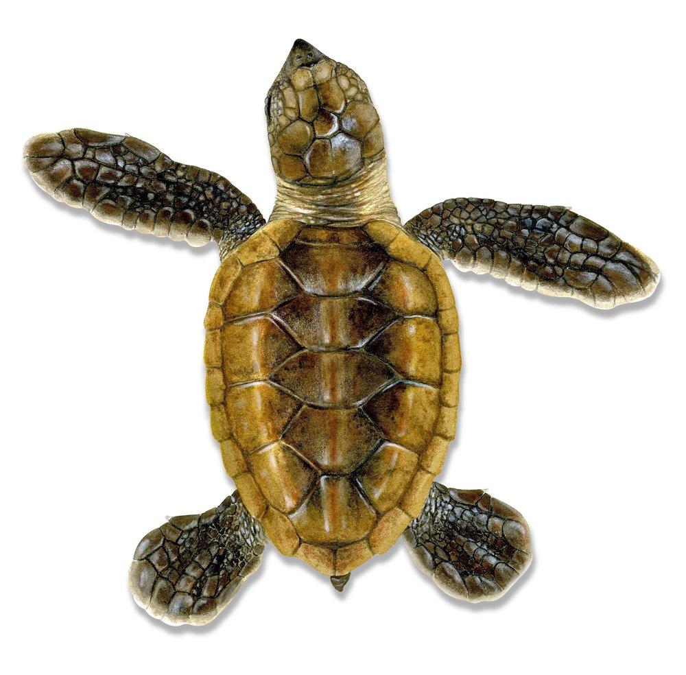 Hawksbill Turtle Hatchling
