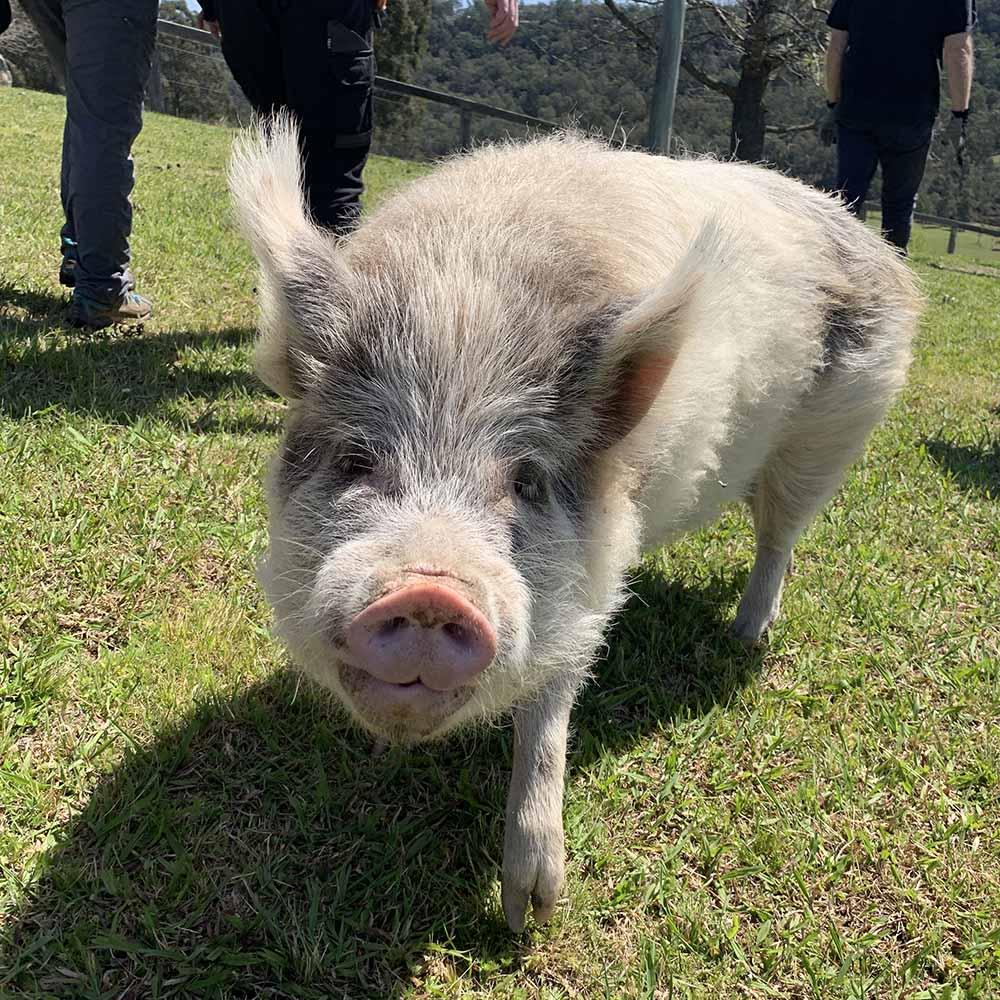 Bubbles | Where Pigs Fly Farm Sanctuary